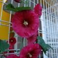 柵に咲く花